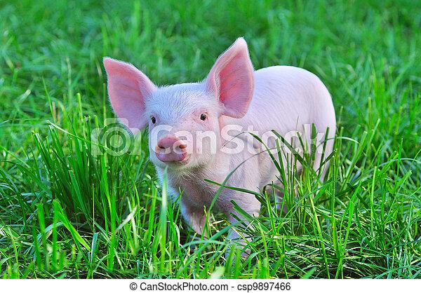 小, 豬 - csp9897466