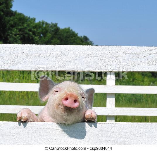 小, 豬 - csp9884044