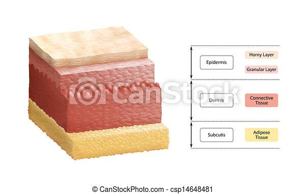 層, 人間の皮膚 - csp14648481