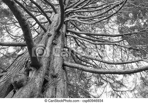 巨人, 木, オーク, 黒, 下に, 白 - csp60946934