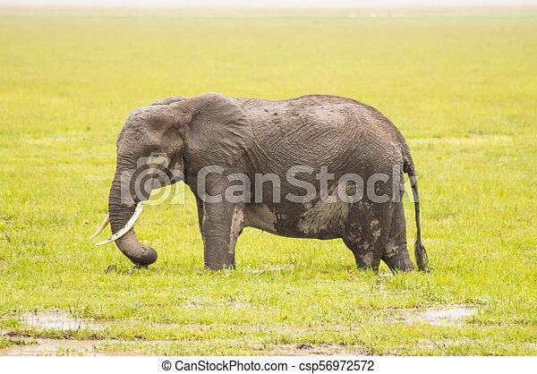 巨大, サバンナ, amboseli, 隔離された, 道, 象 - csp56972572