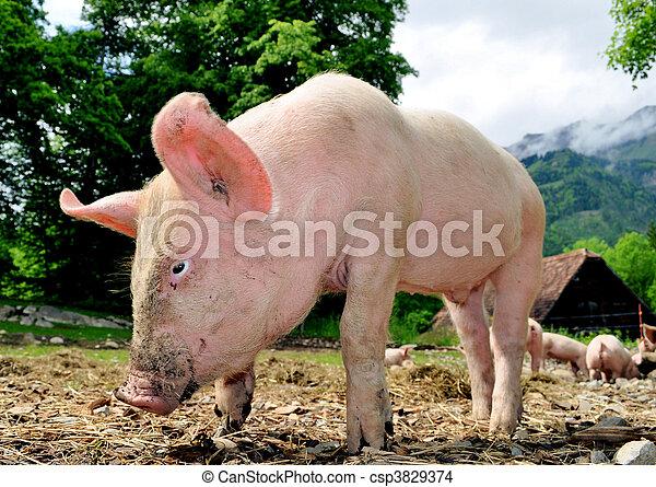 年輕, 豬 - csp3829374