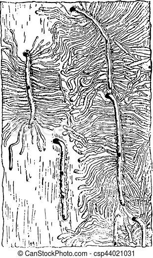 幼虫, 型, ギャラリー, hylesinus, piniperda, 卵, engraving. - csp44021031