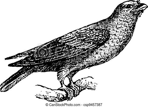 彫版, 型, glaucurus, broad-billed, eurystomus, ∥あるいは∥, ローラー - csp9457387