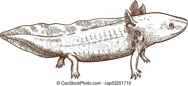 彫版 骨董品 Axolotl イラスト サンショウウオ 骨董品 彫版 隔離