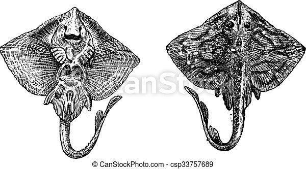 彫版, clavata, raja, 型, thornback, ∥あるいは∥, 光線 - csp33757689