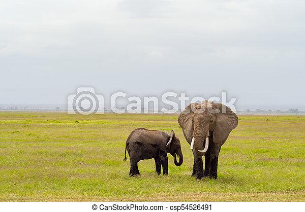 彼の, サバンナ, amboseli, 公園, 幼獣, 象, 前部, kenya, 光景 - csp54526491