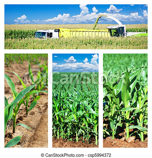 拼貼藝術, 玉米, 領域 - csp5994372