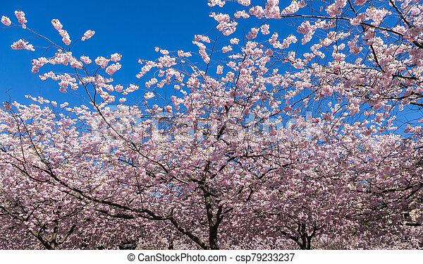 日本語, 木, 開くこと, さくらんぼ - csp79233237