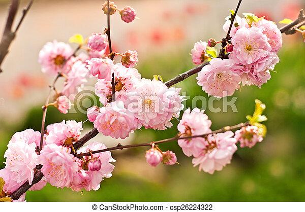 春の花, 背景 - csp26224322