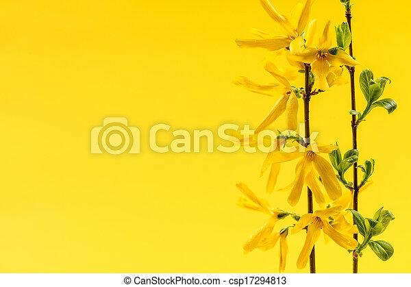 春の花, 背景, 黄色, forsythia - csp17294813