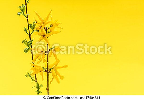 春の花, 背景, 黄色, forsythia - csp17404611