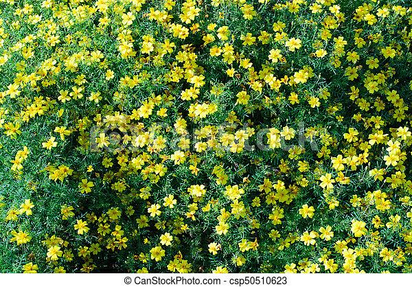 春の花, 自然, 背景, 黄色 - csp50510623