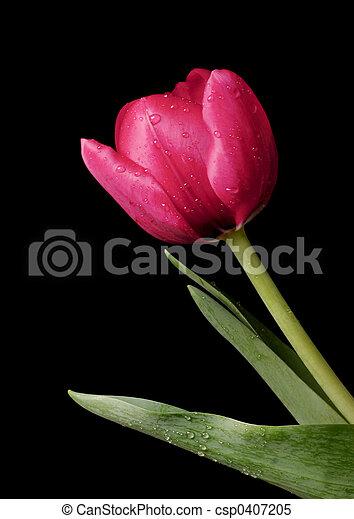 春, チューリップ, 露 - csp0407205