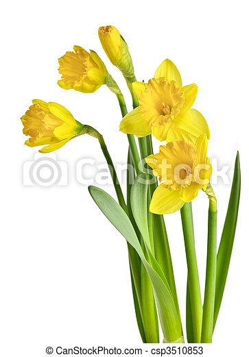 春, ラッパズイセン, 黄色 - csp3510853
