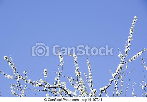春, 咲く, 木, さくらんぼ - csp14197341