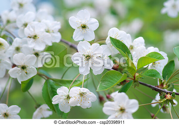 春, 木, flower. - csp20398911