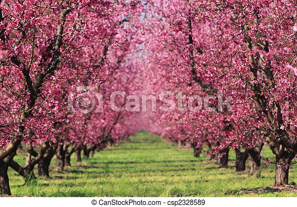春, 果樹園, さくらんぼ - csp2328589