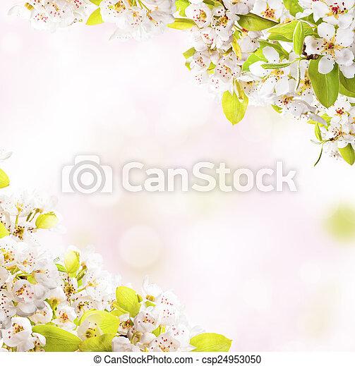春, 白, 花, 背景 - csp24953050