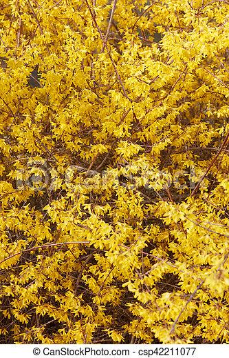 春, forsythia, 花, 黄色の背景 - csp42211077