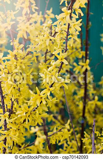 春, forsythia, 黄色の背景, 咲く, 花 - csp70142093