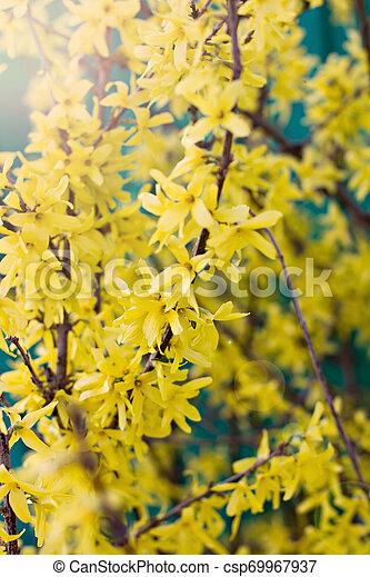 春, forsythia, 黄色の背景, 咲く, 花 - csp69967937