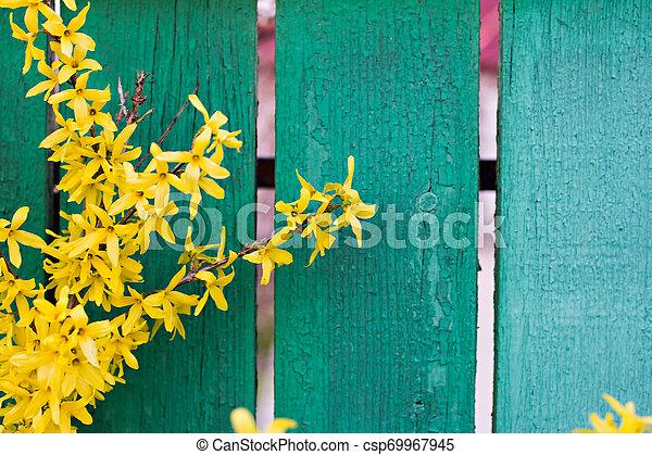 春, forsythia, 黄色の背景, 咲く, 花 - csp69967945