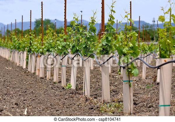 是, 種植, 葡萄, 葡萄樹 - csp8104741
