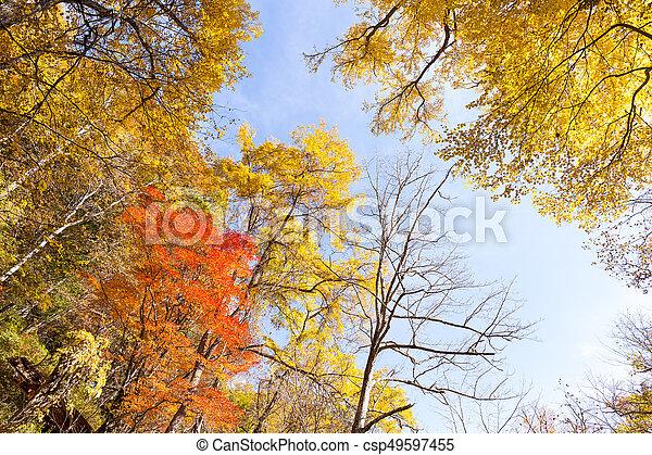 木, かえで - csp49597455