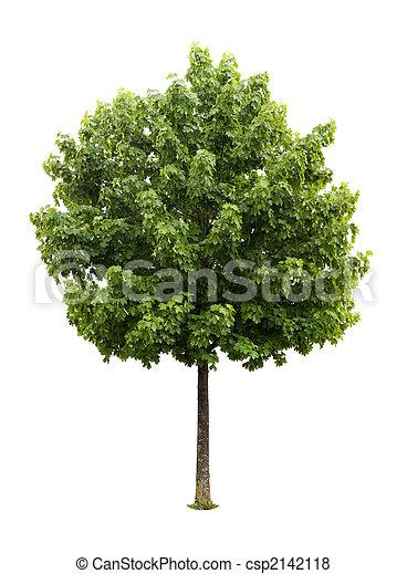 木, かえで - csp2142118