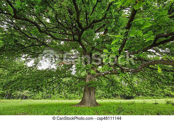 木, オーク, 古い, 大きい - csp48111144