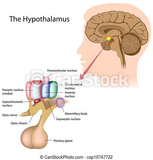 核, hypothalamus - csp10747722