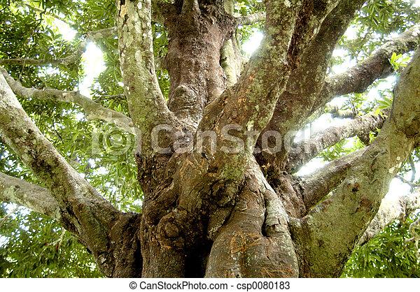 桉樹樹 - csp0080183