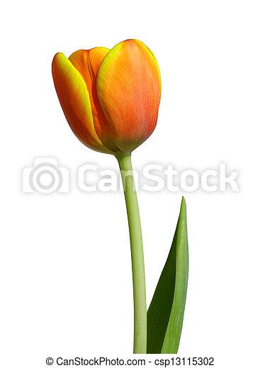 桔子鬱金香, -, 紅色 - csp13115302