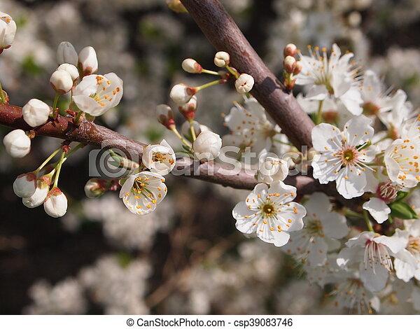 桜の木 - csp39083746