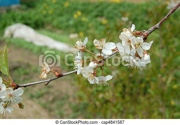 桜の木 - csp4841587