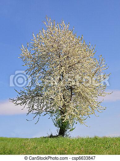 桜の木 - csp6633847