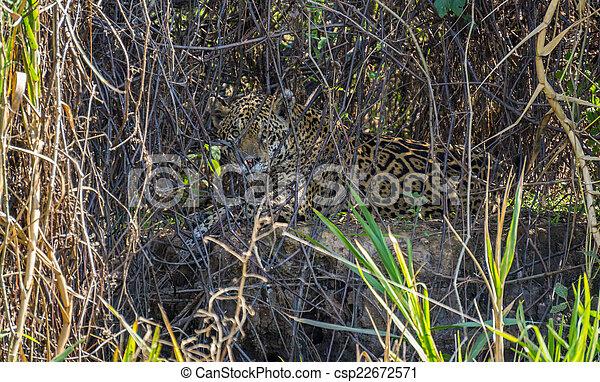 植物, 巴西, 美洲虎, pantanal, 後面, 荒野, 河岸 - csp22672571
