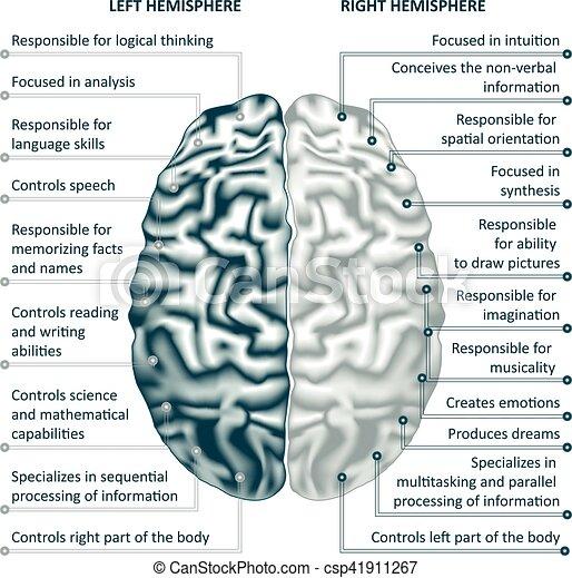 権利, イラスト, 半球, 脳, ベクトル, infographics, 左 - csp41911267