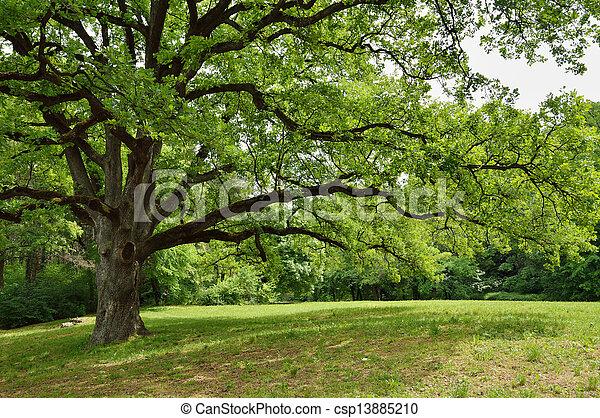 樹, 橡木, 公園 - csp13885210