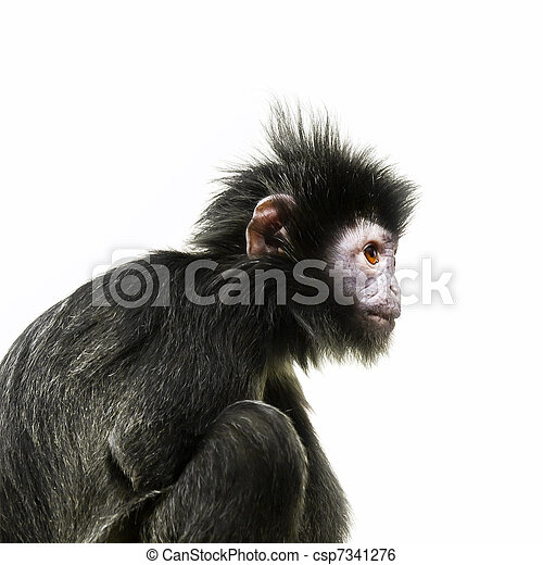 橙, 黑眼睛, 猿 - csp7341276