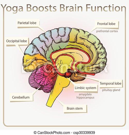 機能, 脳, ヨガ, boosts - csp30339939