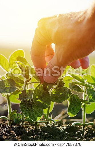 檢查, 植物, 葉子, 向上, 手, 大豆, 農夫, 關閉, 男性 - csp47857378