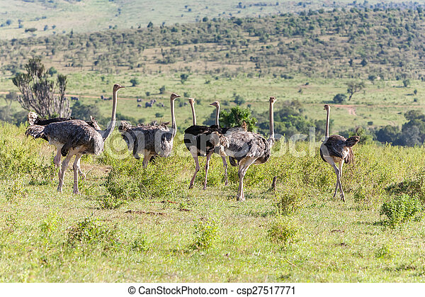 歩くこと, アフリカ。, だちょう, safari., kenya, サバンナ - csp27517771