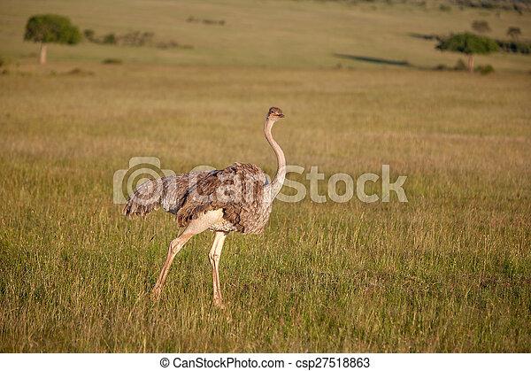 歩くこと, アフリカ。, ダチョウ, safari., kenya, サバンナ - csp27518863