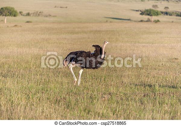 歩くこと, アフリカ。, ダチョウ, safari., kenya, サバンナ - csp27518865