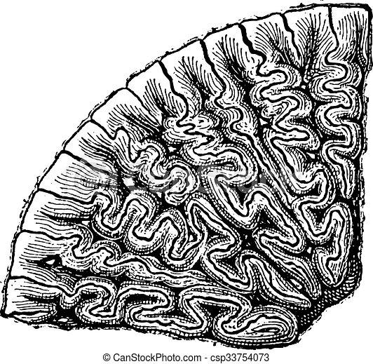 歯, セクション, engraving., labyrinthodontia, 型 - csp33754073