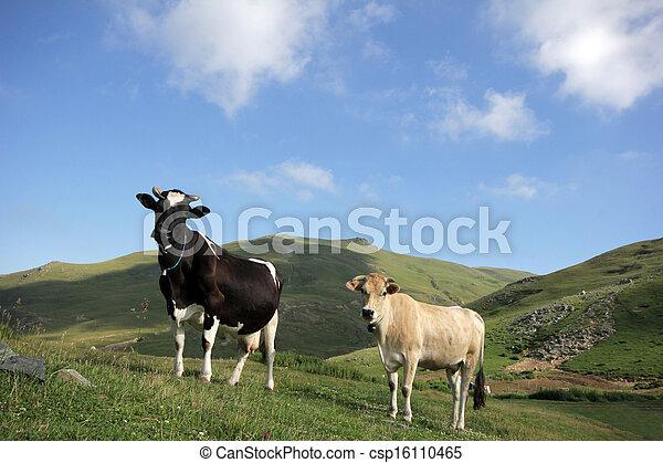 母牛 - csp16110465