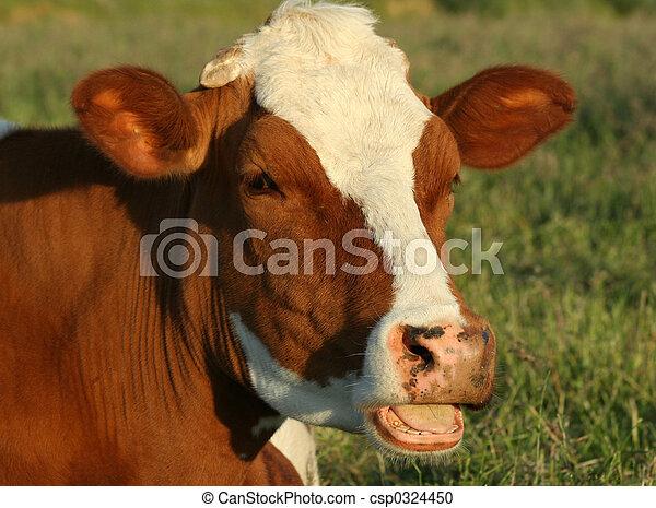 母牛 - csp0324450