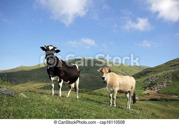 母牛 - csp16110508